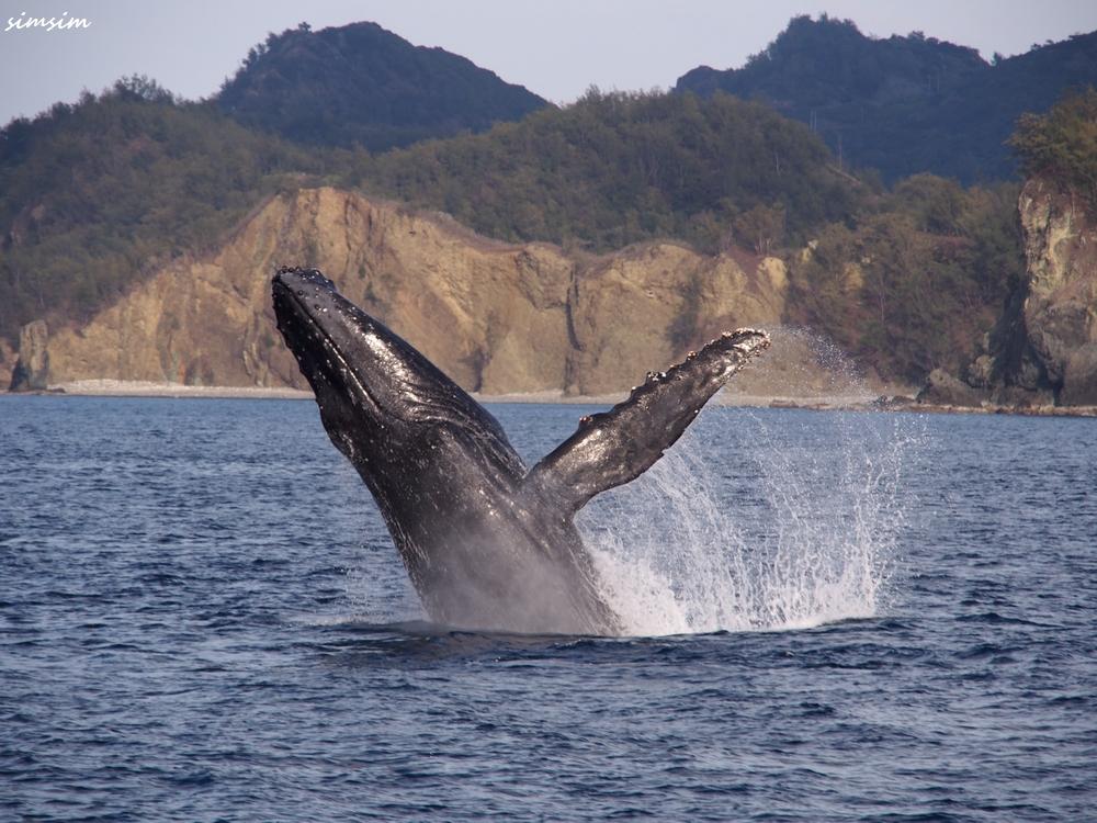 父島ザトウクジラ