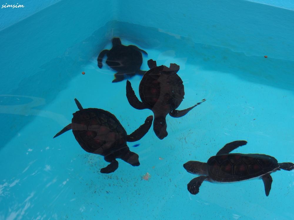 小笠原海洋センターウミガメ