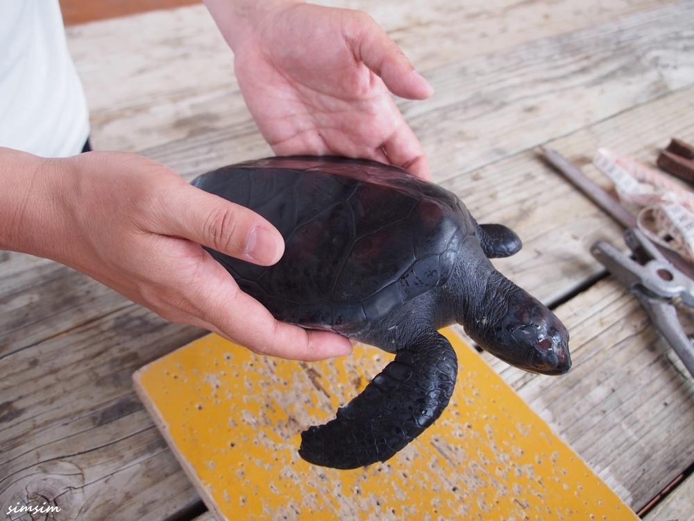 小笠原海洋センターウミガメ放流