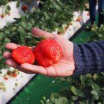 栃木芳賀イチゴ園