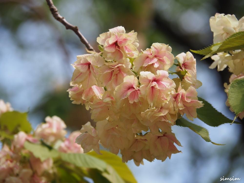 新宿御苑八重桜