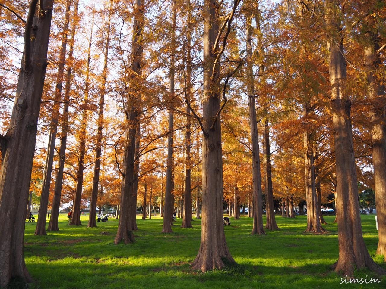 水元公園メタセコイア紅葉