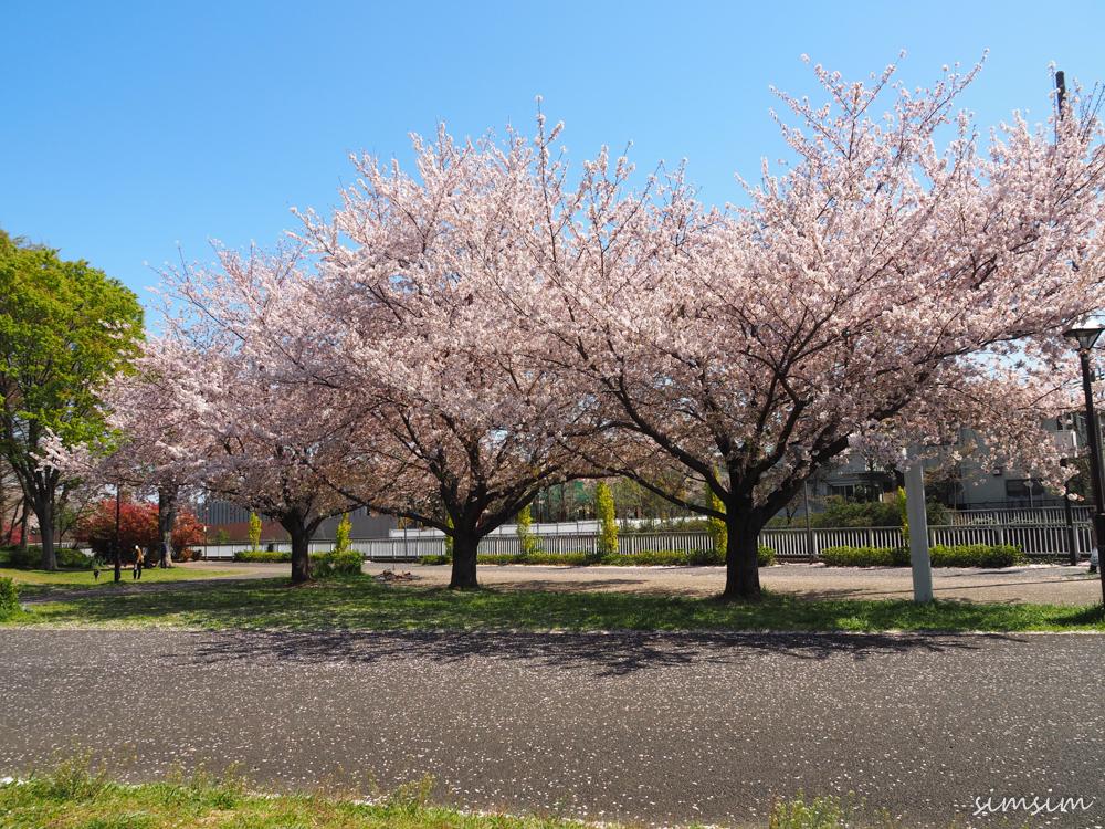 城北中央公園桜