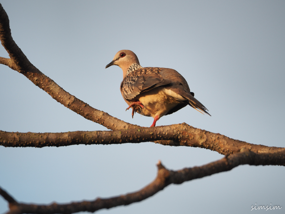 スリランカ野鳥
