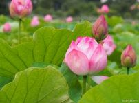 上野公園蓮の花