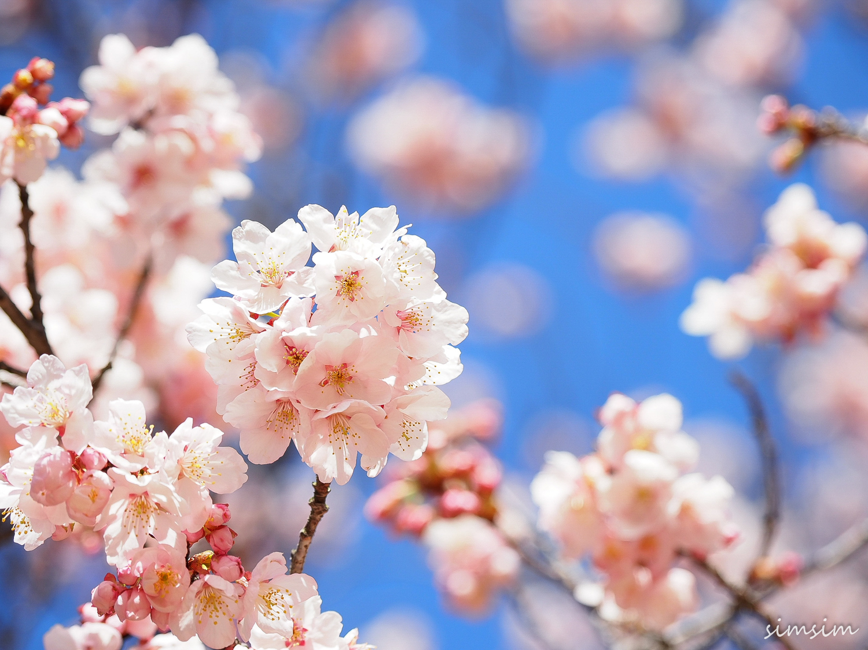 見頃 2020 東京 桜