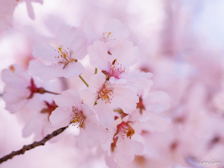 新宿御苑桜開花状況