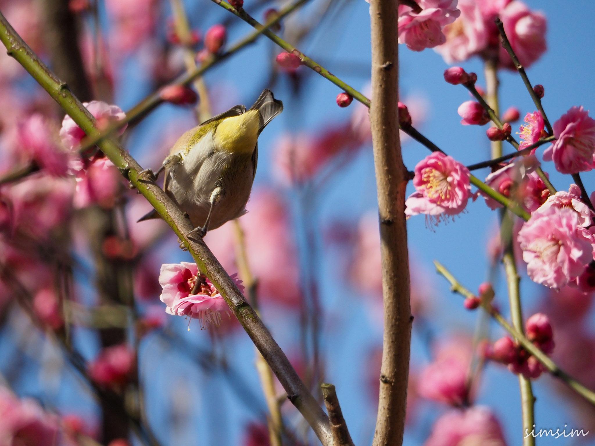 小石川植物園メジロ