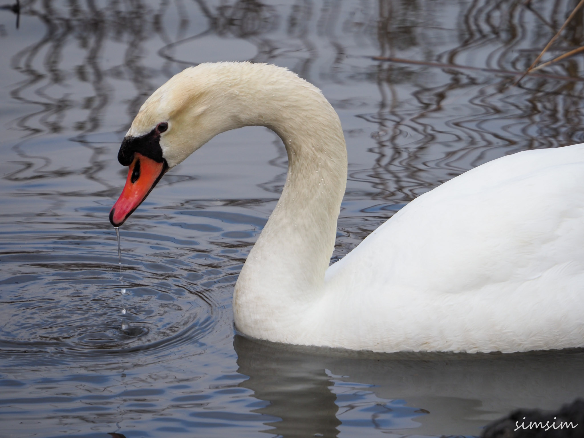 山中湖白鳥