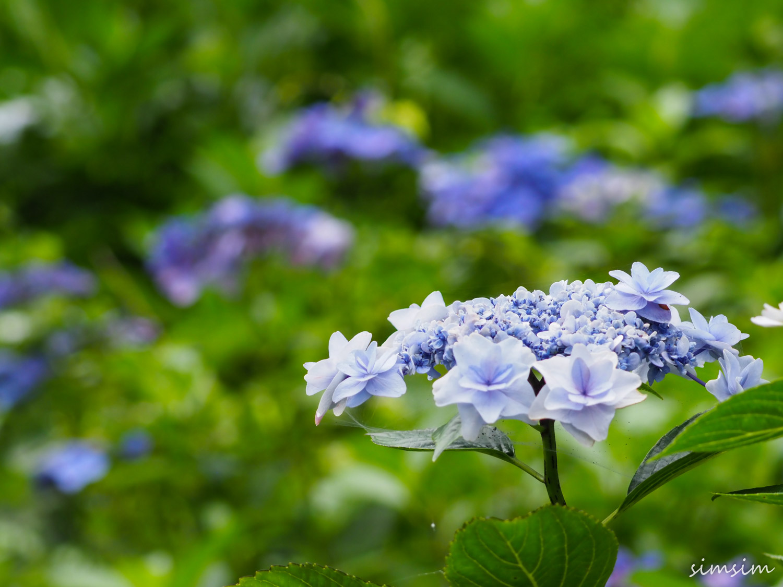 涸沼自然公園紫陽花